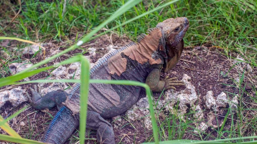Jamaican iguanas were considered the country's first farmers. Photo: Dominic Davis/UNDP Jamaica.