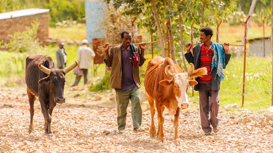 Ethiopian farmers walking with cattle