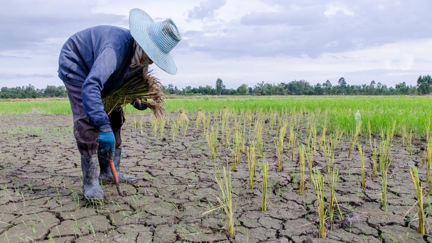 Farmer planting plants in drought-stricken field.