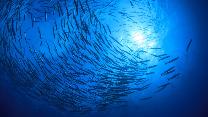 Swirling school of barracuda as seen from below.