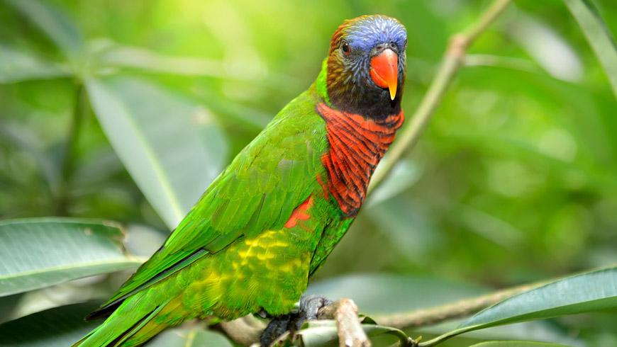 rainbow lorikeet sitting on a branch with green forested background