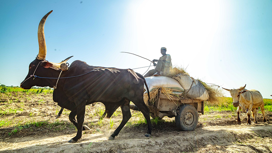 Nigerian farmer on a rice cart being pulled by cattle