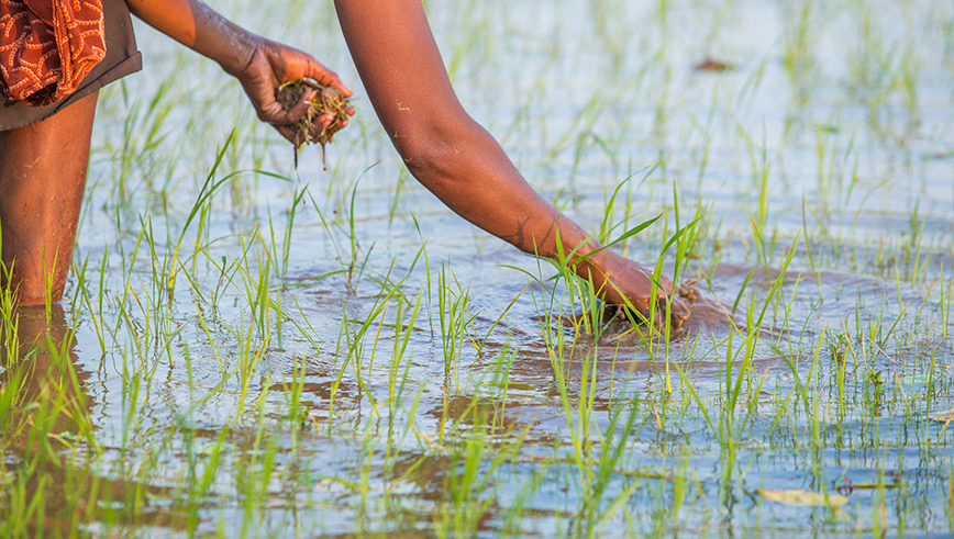 A resident of Enato village on the fringes of Madagascar's Tsitongambaraika protected area tends to her rice paddy.