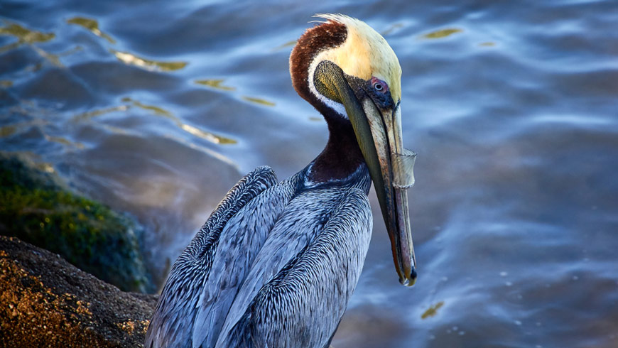 Pelican with plastic stuck on beak