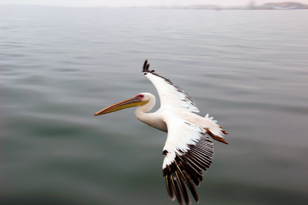 A pelican flying over the Atlantic Ocean off the coast of Swakopmund, Namibia.