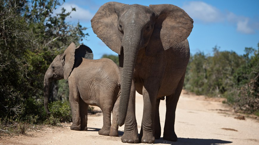 South Africa's CBIT project will enhance capacity building and implementation of its National Climate System. This in turn will help protect the numerous animal species found in the country, including African elephants.