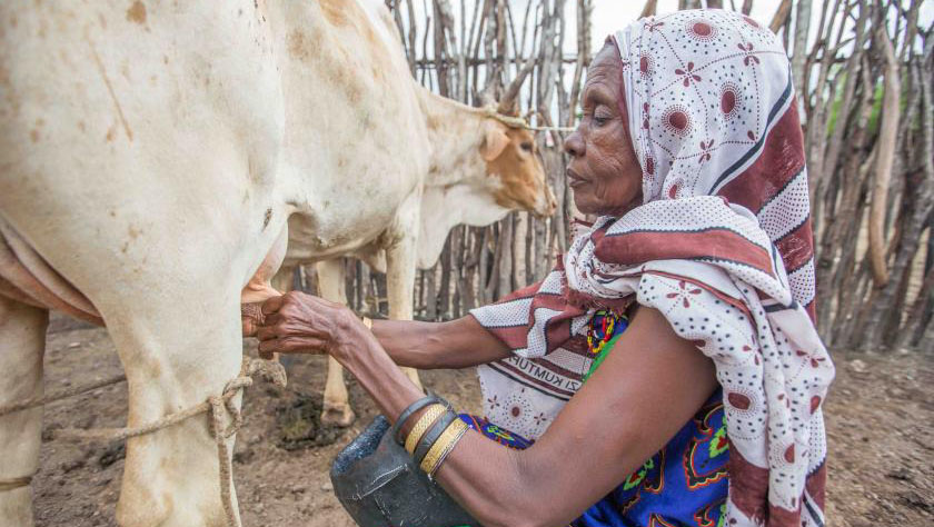 Kenyan woman milking cow