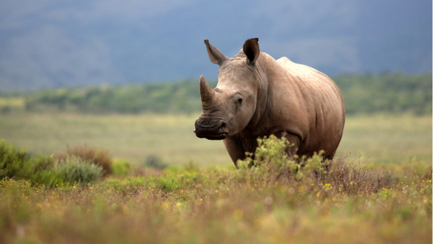 A White Rhino grazing in an open field.
