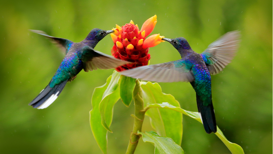 Hummingbirds at a flower in Costa Rica