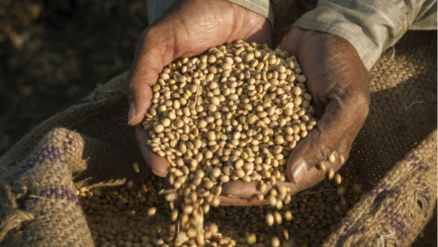 Person with soybeans in hand