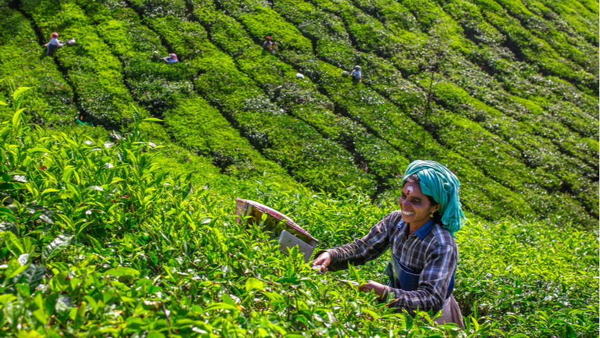 Women picking tea leaves in a tea plantation around Munnar, Kerala, India