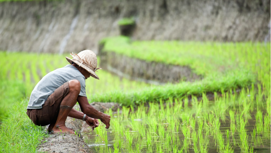 Unidentified man cultivating rice on August 15, 2014 in Bali, Indonesia.