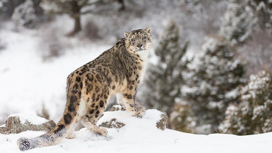 Snow leopard in natural habitat