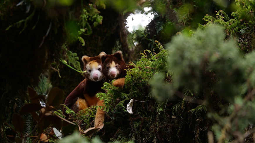 Sought after for subsistence-based hunting, as part of rural communities' diets for centuries, the critically endangered tree kangaroos have been hunted almost to extinction, but now local communities and conservation groups are fighting together to save them. In the subsequent decade, the TKCP and the YUS Conservation Area have become a national model for conservation within the unique context of PNG's customary land tenure system. Photo: Jonathan Byers/TKCP.