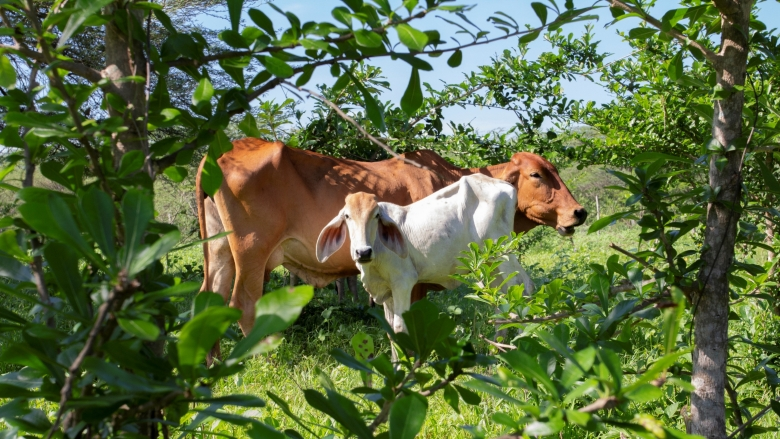"The Mainstreaming Sustainable Cattle Ranching project, now in its tenth year, has helped 4,100 family farms in five distinct zones of Colombia adopt ""silvopastoral"" techniques that combine trees (silvo) with pasture, in a beneficial combination for farmers, their cows and the broader environment. Photo: Flore de Preneuf/World Bank."