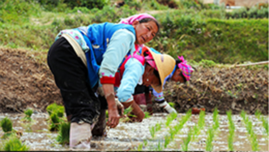 Chinese farmers work on rice fields in Dali.