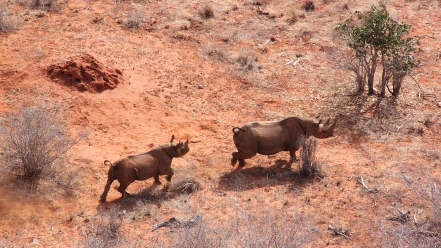 Rhinos seen from above, running across a scrubby landscape.