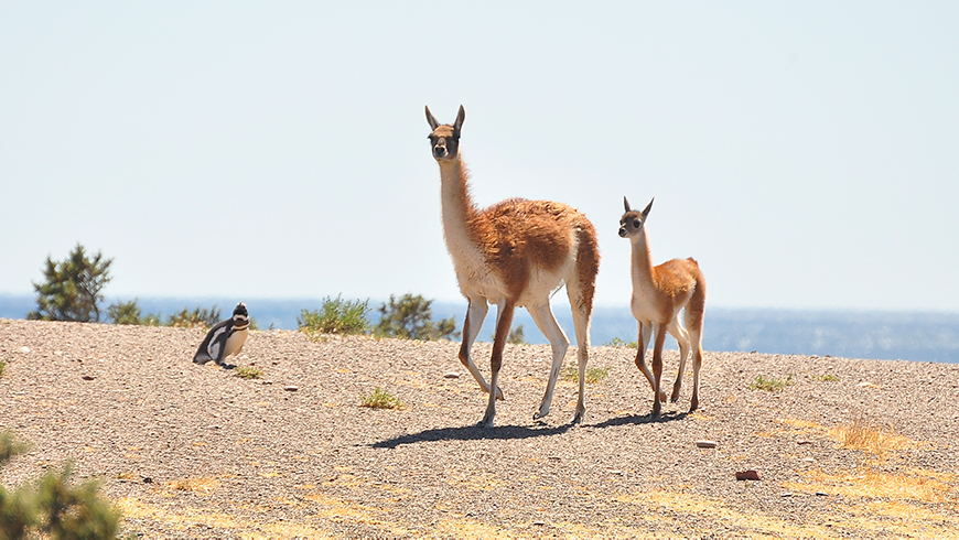 Adult and juvenile guanacos in Chubut province, Argentina