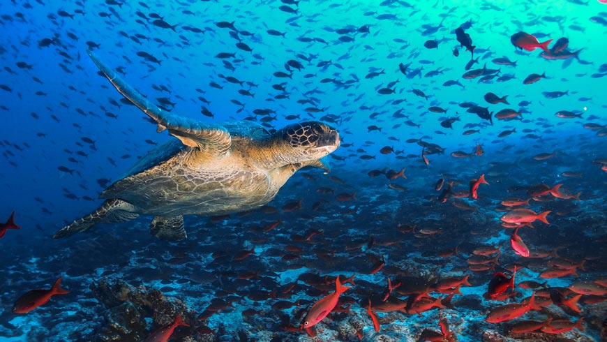 Sea turtle swimming near fish in deep blue ocean background