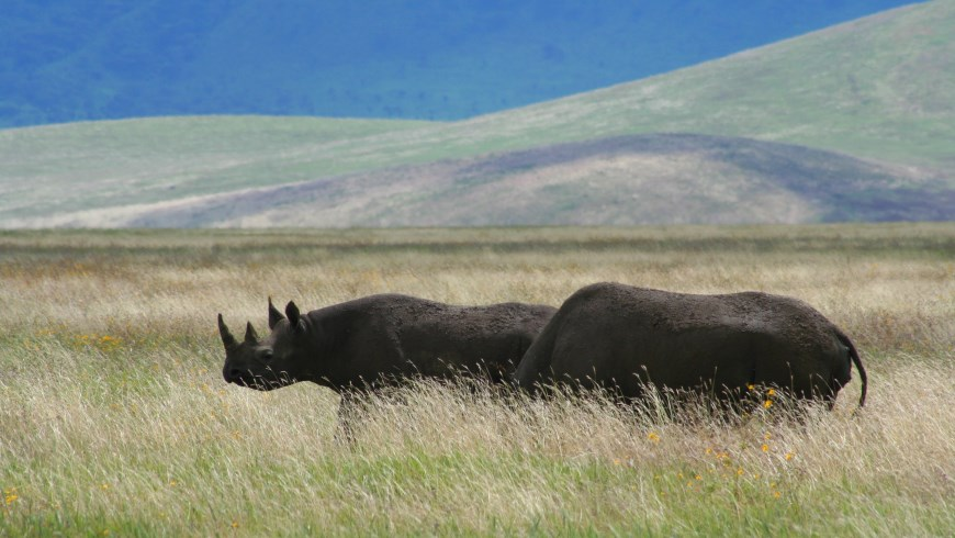 A pair of black rhinos in Ngorongoro crater in Tanzania.