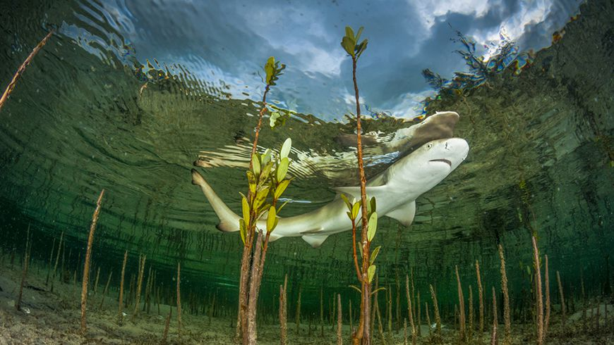 Lemon shark pup in mangroves, Bahamas. Photo: Shutterstock.