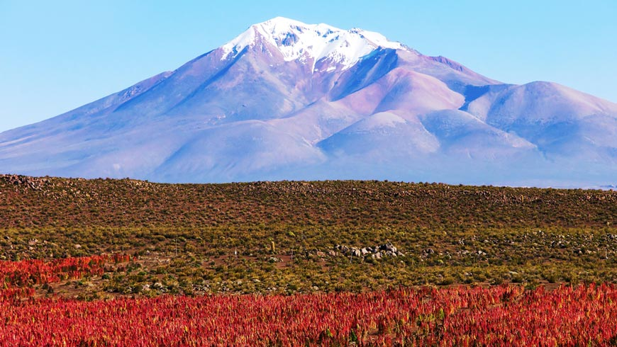 Quinoa field in Bolivia with snow-capped mountains in background