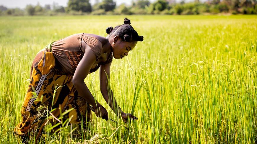 Female farmer in rice field, Madagascar.