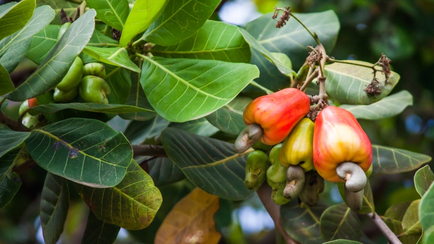 Beautiful ripe cashews on a tree branch. Photo: Luciano Queiroz/Shutterstock.