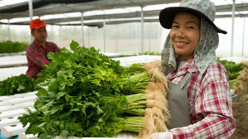 Woman harvesting hydroponics celery. Photo: Wytsnsr/Shutterstock.