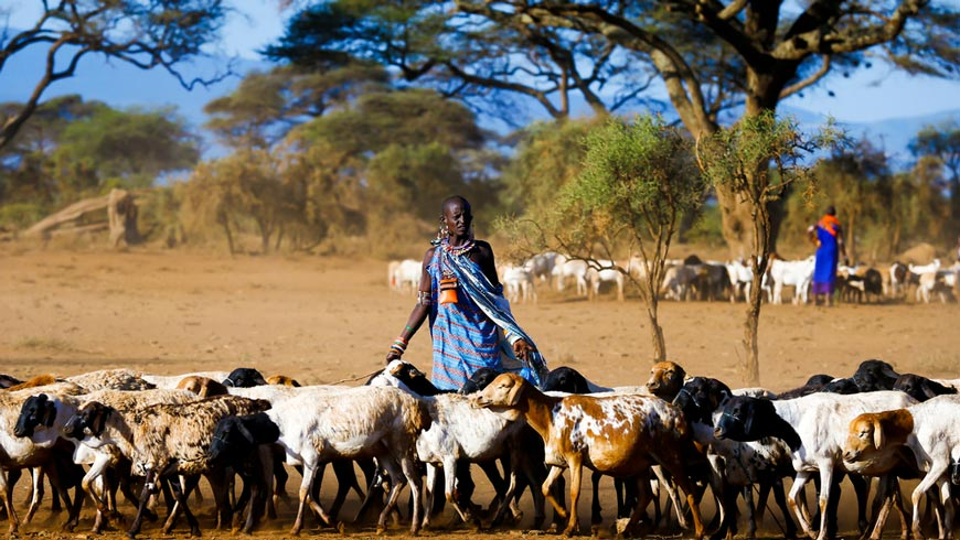 Masai shepherdess brings early morning herd of goats on pasture in Kenya. Photo: Andrzej Kubik/Shutterstock.