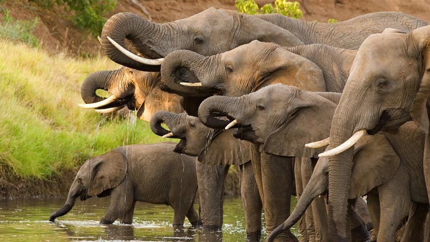 Line of elephants drinking at a watering hole