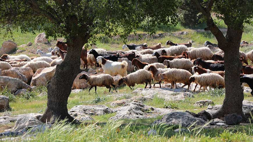 Sheep grazing behind shade trees