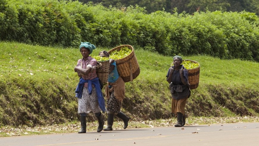 Workers carry baskets of freshly picked tea in the town of Kimunye, Kenya. Photo: John Wollwerth/Shutterstock.