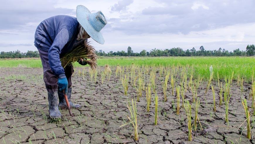 Farmer planting plants in drought-stricken field.