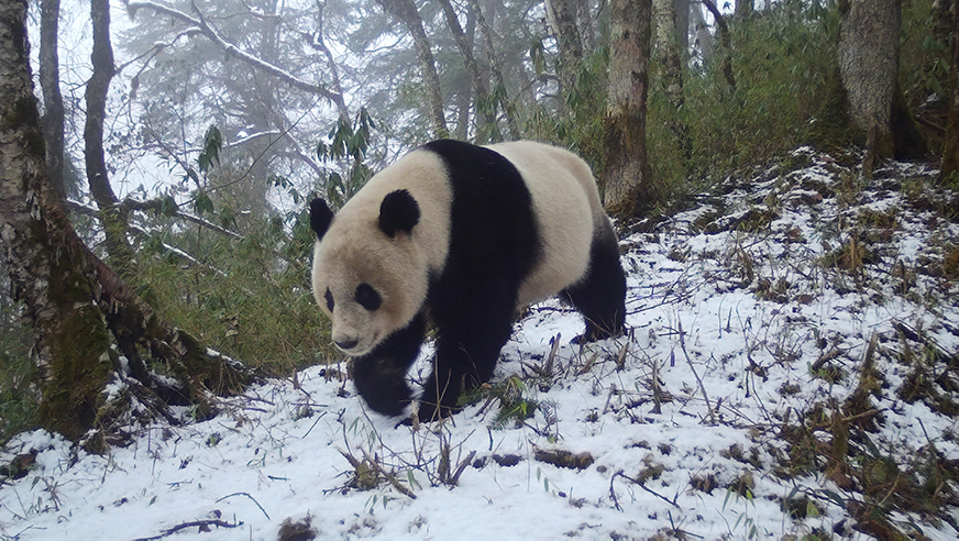 Giant panda walking through the snow