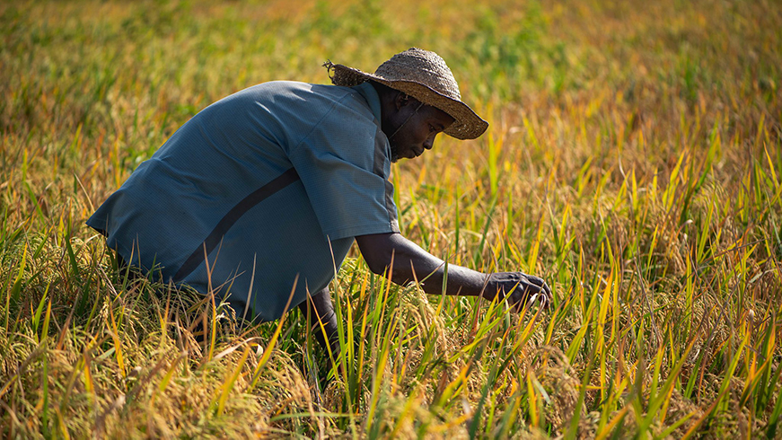 Rice and wheat farmer tending to his crop in Nigeria
