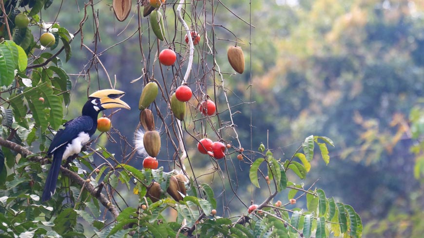 Tropical bird in tree perched near hanging ripe fruits.