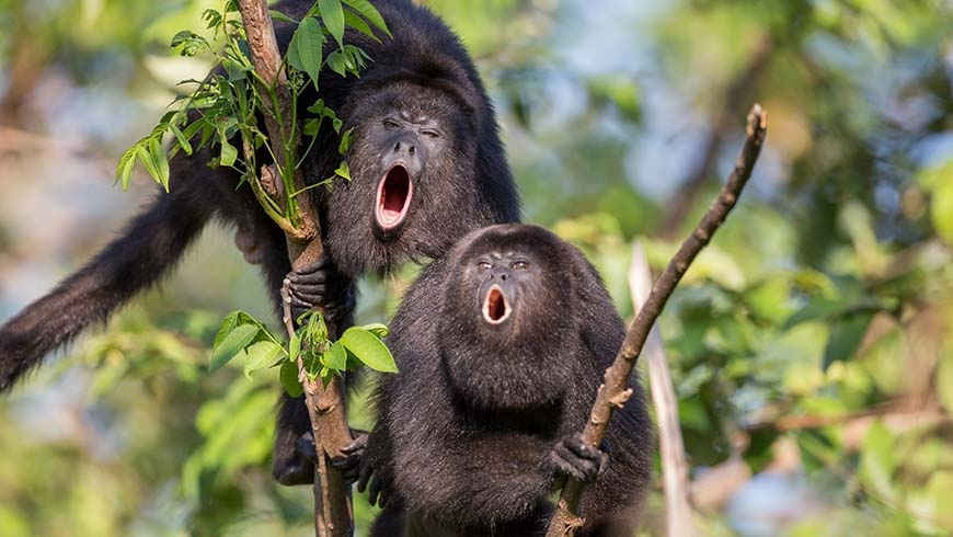 Belize's howler monkeys live safely in a sanctuary, thanks to UNDP's Small Grants Programme. Photo: Wildtracks