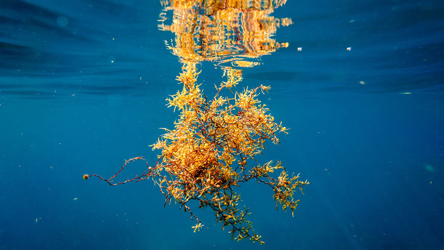 Sargassum seaweed floating in dark blue ocean water.