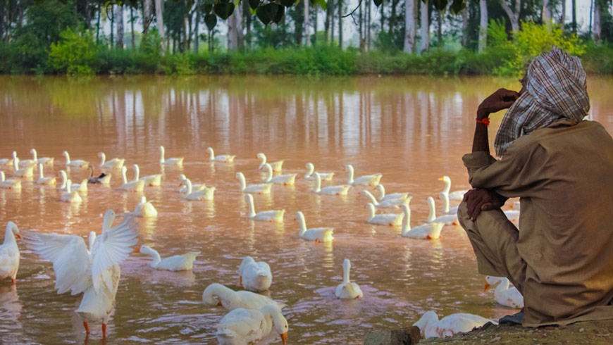 Man sits next to pond in India near ducks and looks out over water.