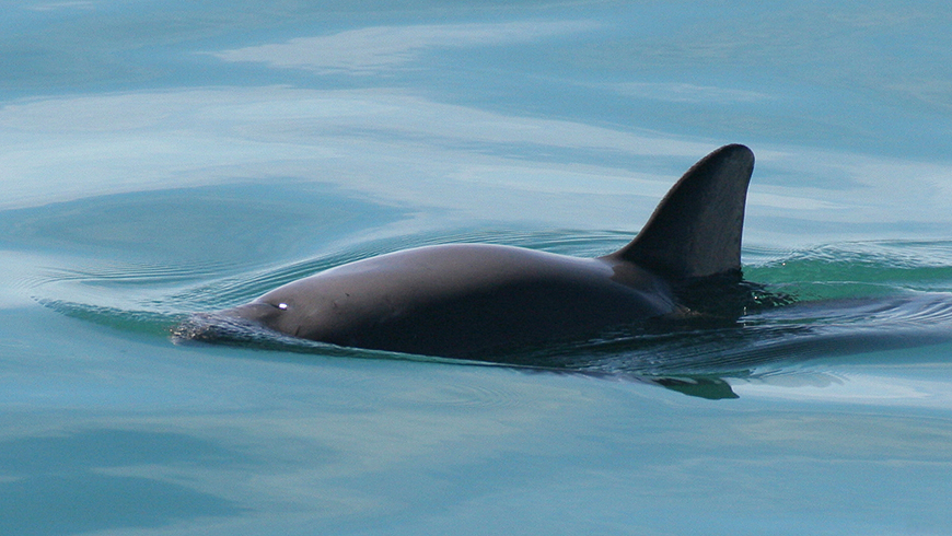 The vaquita has now been classified as Critically Endangered with only about 60 individuals left in the wild. Photo: Paula Olson/NOAA.