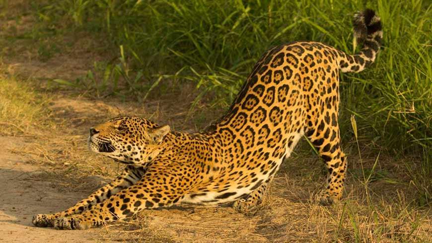 Image result for images of jaguars
