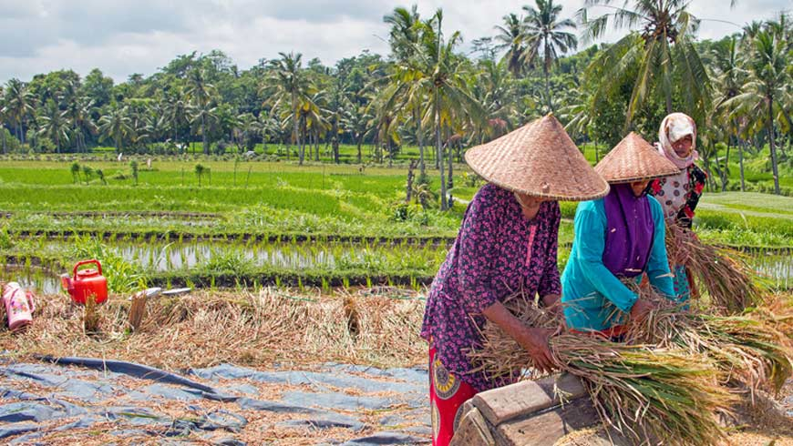 Women farmers in Indonesia havest rice