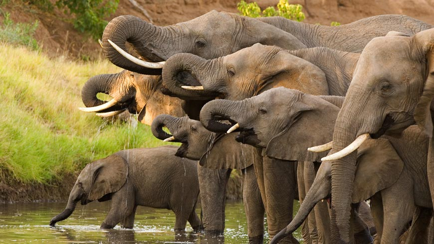 African elephant herd drinking together at watering hole. Photo: Villiers Steyn/Shutterstock.