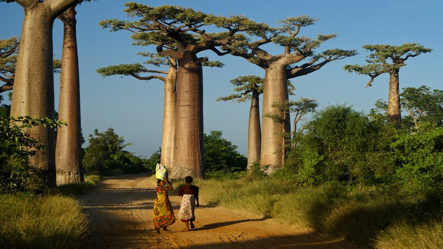Two women walk home from market in late afternoon through the Avenue des Baobabs in Madagascar.