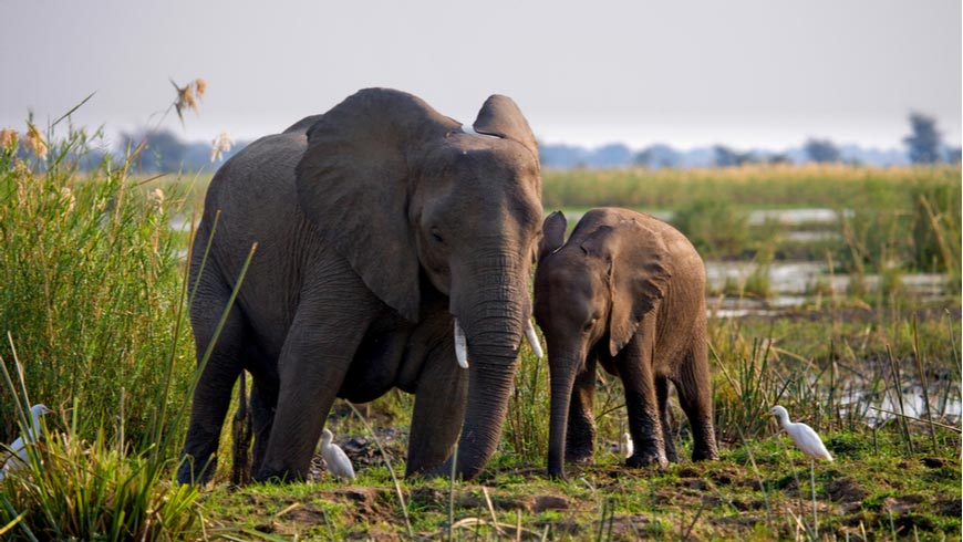 Elephant with baby near Zambezi River.