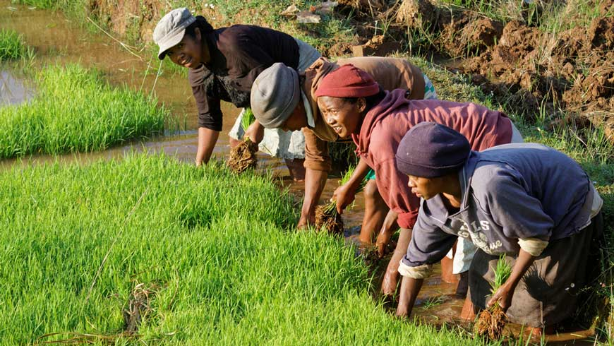 Women planting rice in Madagascar