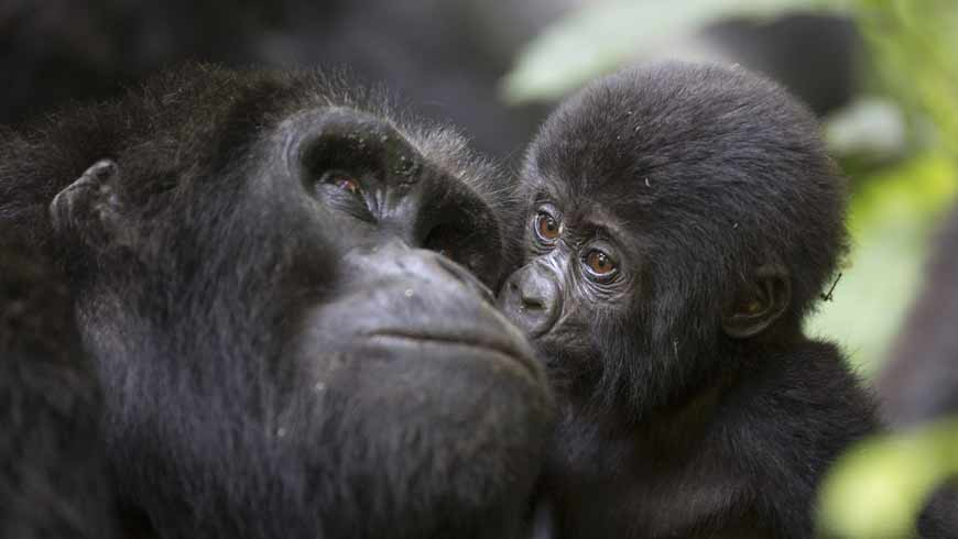 Baby gorilla and his mother