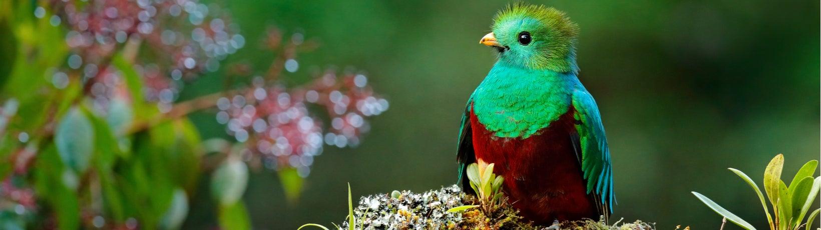 Resplendent Quetzal (Pharomachrus mocinno); Savegre, Costa Rica; with green forest in background.  Photo: Ondrej Prosicky/Shutterstock