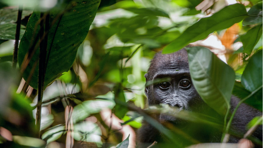 Congo Basin rainforest is a shared global asset that is critical to the planet's health. And, like the increasingly rare great apes that inhabit it, this asset is in desperate need of protection. Photo: Sergey Uryadnikov/Shutterstock.